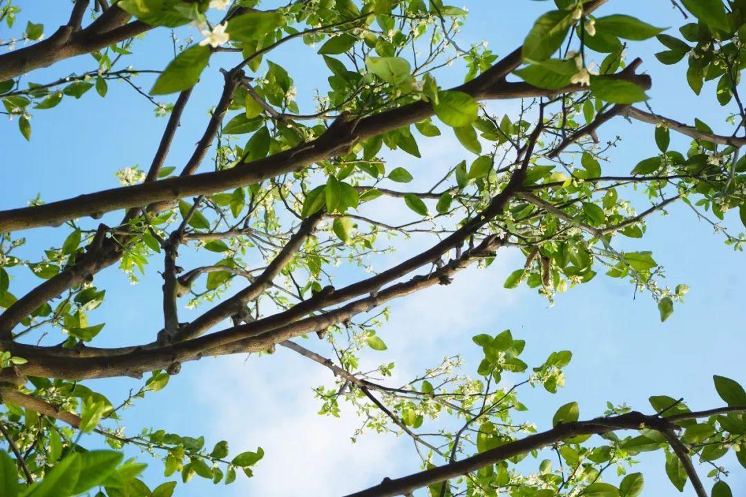 桔树开花美如画!麻涌这里有一片特别的花海