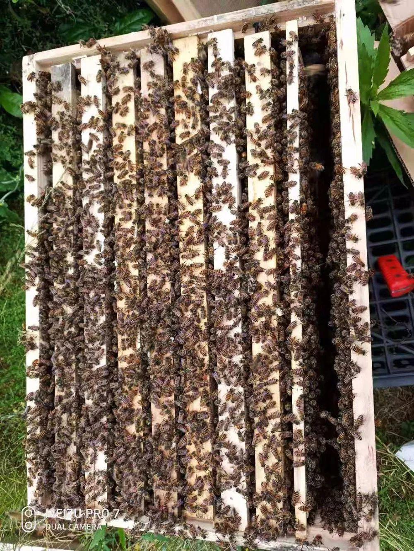 凤冈这个1200群的蜜蜂养殖基地,现大量出售蜜蜂 蜂蜜