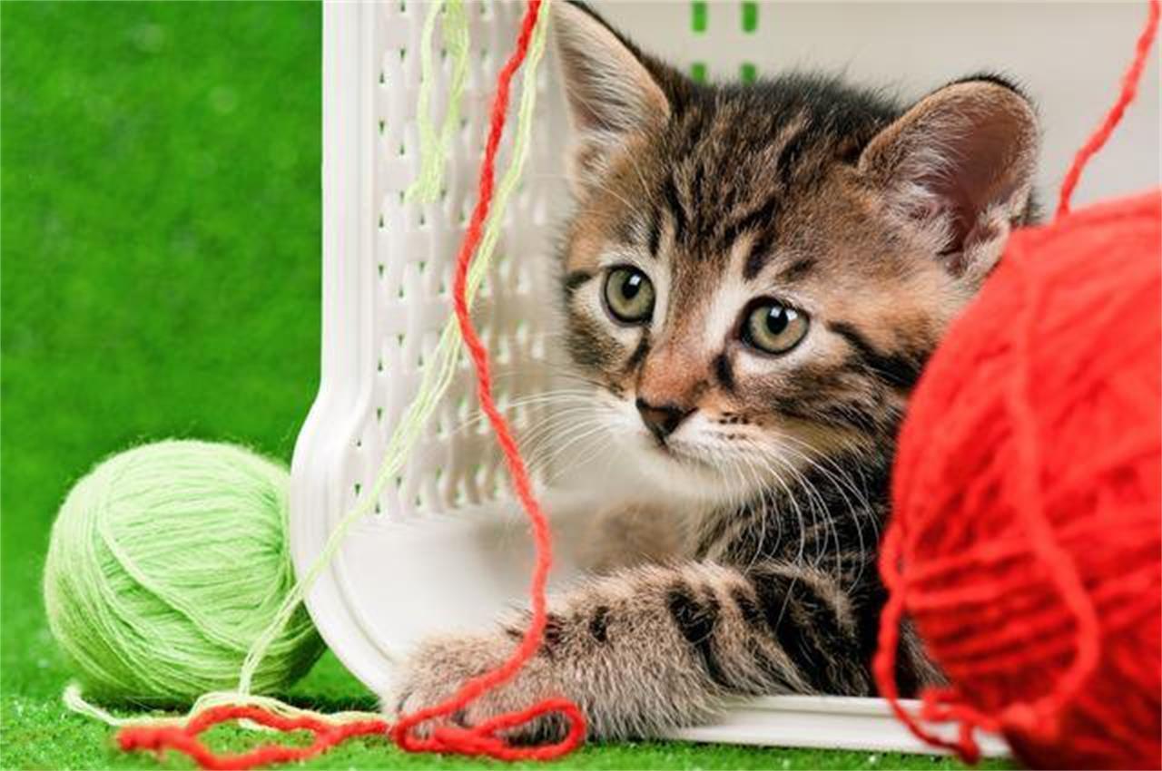 训练猫咪作揖图片