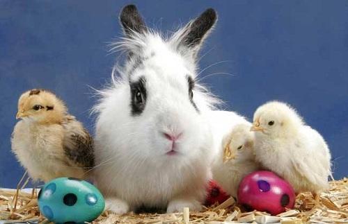 宠物小知识:兔子有毛球症拉一颗一颗有毛的便便