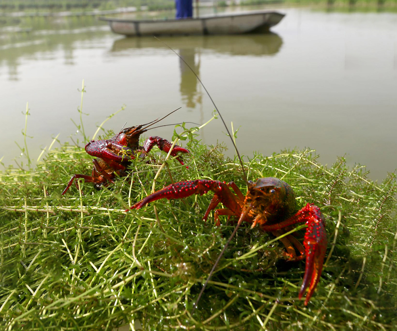 河南首单小龙虾养殖险在信阳罗山落地