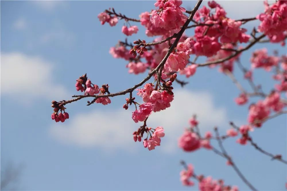 樱花的花语是生命