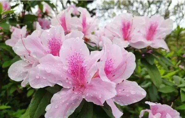 杜鹃花的小课堂 到了春天,鲜花盛开,开的最多的便是杜鹃花,杜鹃花属种类多,全世界大约有近千种,中国约有530种,除新疆外,南北各省均有分布。 杜鹃花主要分落叶和常绿两大类。落叶类叶小,常绿类叶片硕大,喜阴凉、湿润,耐寒,多生长在山坡、高山草甸、灌木丛或松林下,为中国中南及西南典型的酸性土指示植物。一般于春、秋二季抽梢,最适宜的生长温度为15~25。气温超过30或低于5则生长趋于停滞,冬季有短暂的休眠期。 杜鹃一般春季开花,每簇花2-6朵,花冠漏斗形,有红、淡红、杏红、雪青、黄色、白色等等,花色繁茂艳