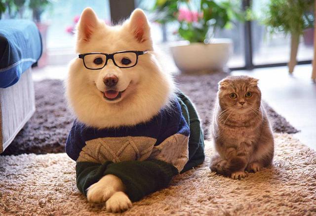 5个理由不养萨摩耶犬,看完你还敢养吗?