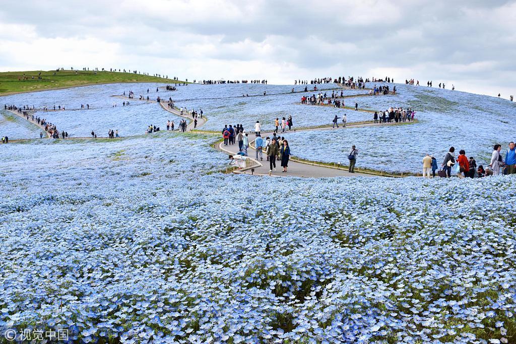 看樱花嫌人太多?春天日本还有更梦幻的花田