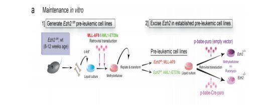 《JEM》:免疫靶点新发现  有望治疗白血病