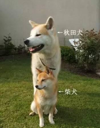 脸大腿长眯眯眼,就是秋田犬...