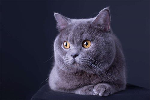 英短乳白,蓝白,蓝猫,美短加白大种公对外限量借配 1500元图片