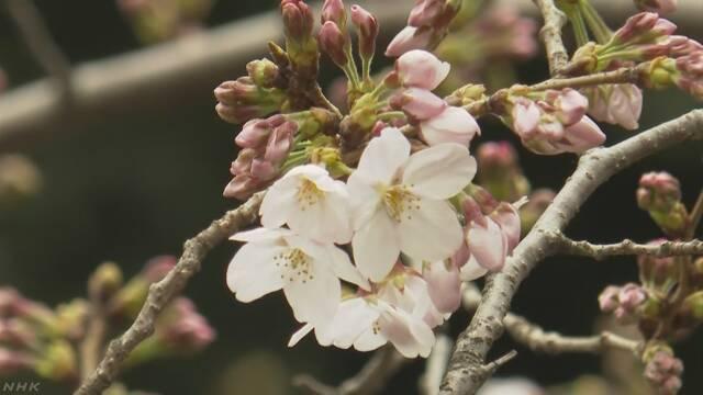东京的染井吉野樱开花 比去年晚了4天