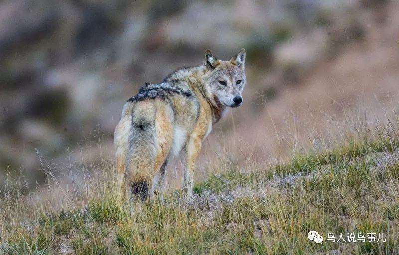青藏高原上的图腾——狼!