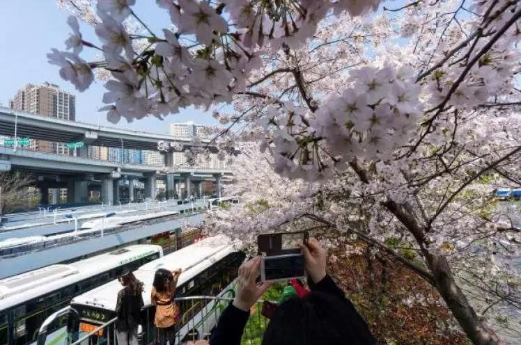 上海地铁共有几条_魔都赏花大全,选对地方,去寻找春天的气息_赏樱