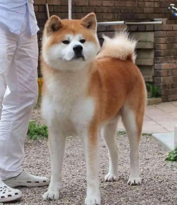 秋田犬价格昂贵的5个原因,难怪那么少人养!