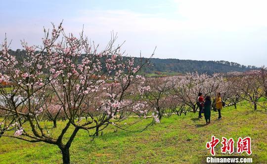 湖北枝江:桃花朵朵开 游人踏春来