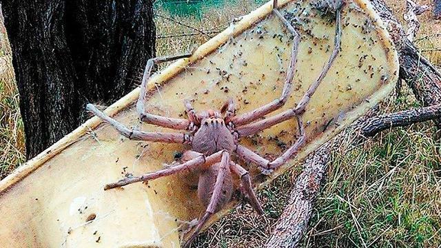关于不喜欢织网的游猎蜘蛛科普!