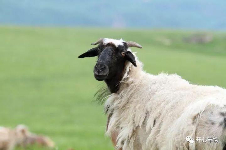 收藏 提高母羊多胎率的两种方法