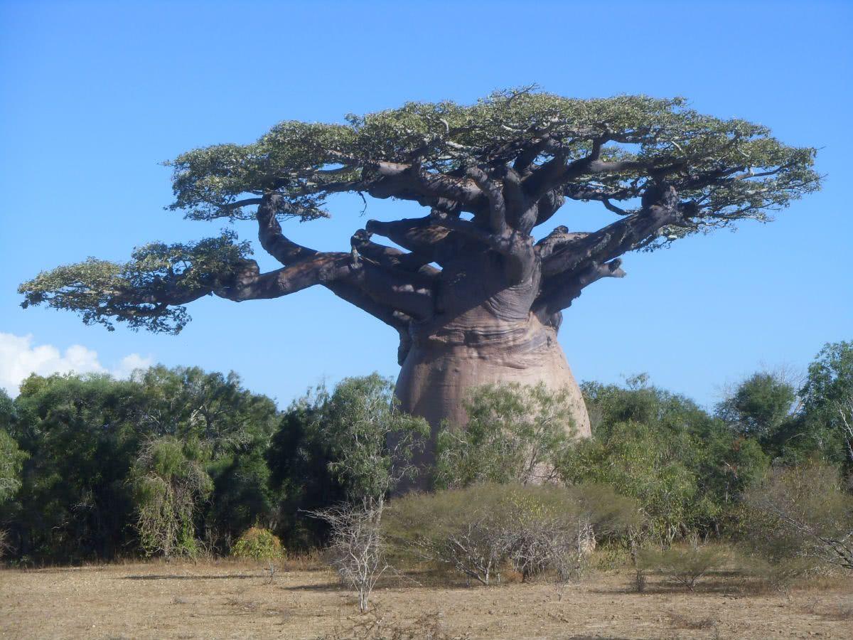 世界最粗的树图片_世界上最无奈的树,因长得高大粗壮,被当地人挖空树干做成了 ...