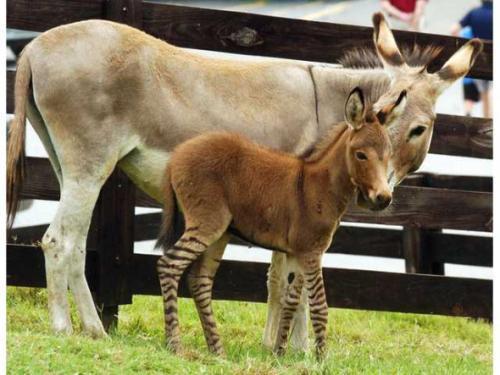 10条奇葩有趣的冷常识,你知道斑驴是怎样来的吗?