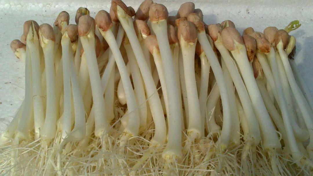 花生芽能吃?低脂高蛋白营养不一般