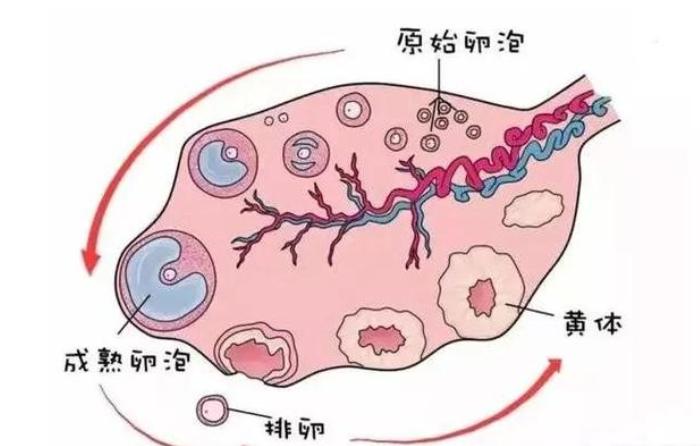 生理性卵巢囊肿是什么?有什么影响?发现后如何治疗?
