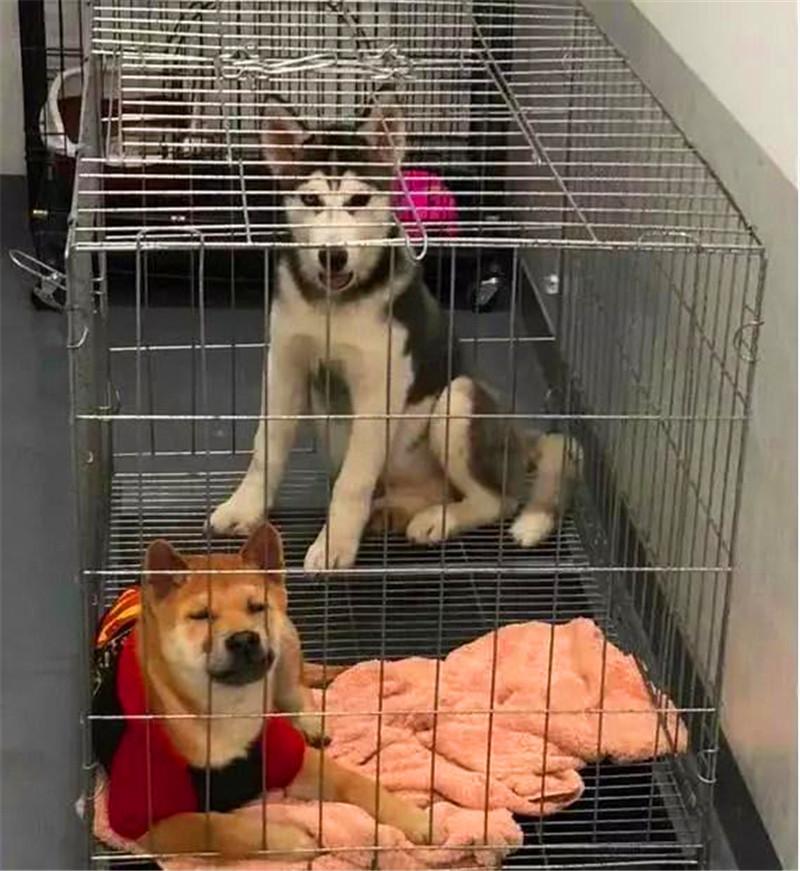 柴犬和二哈关在一起,戏剧性的一幕出现了,柴犬:赶紧把蠢货拖走