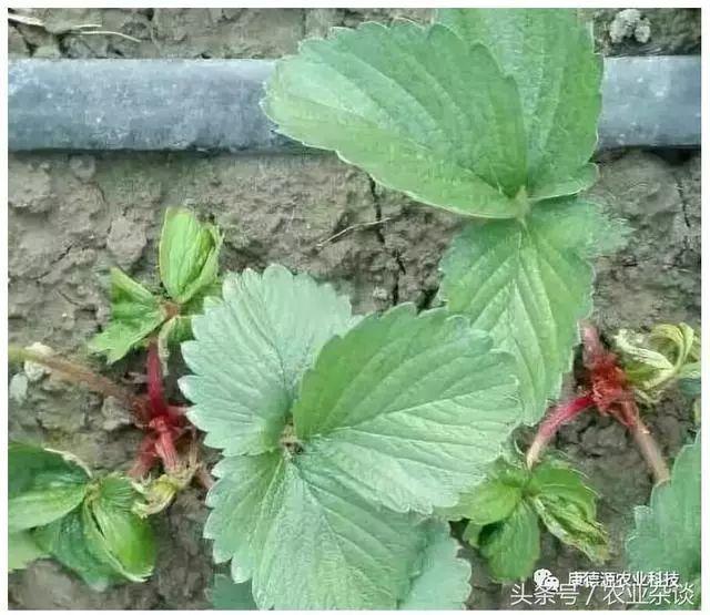 草莓烂根最简单的处理方法图片