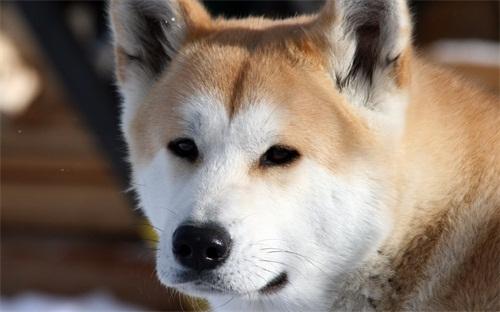 狗狗尿尿问题:秋田犬尿不出来,秋天求尿不出来趴着