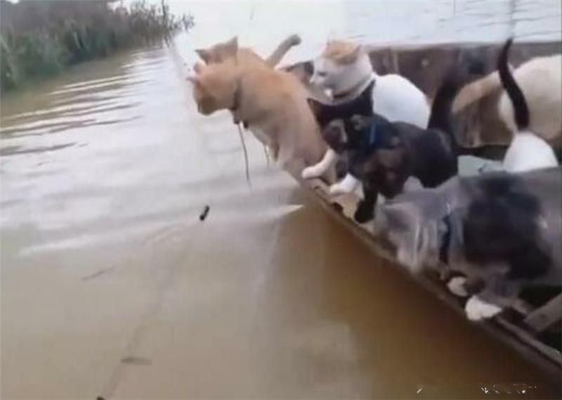 男子坐船钓鱼,动用了一船的猫为他捕鱼,场面十分壮观