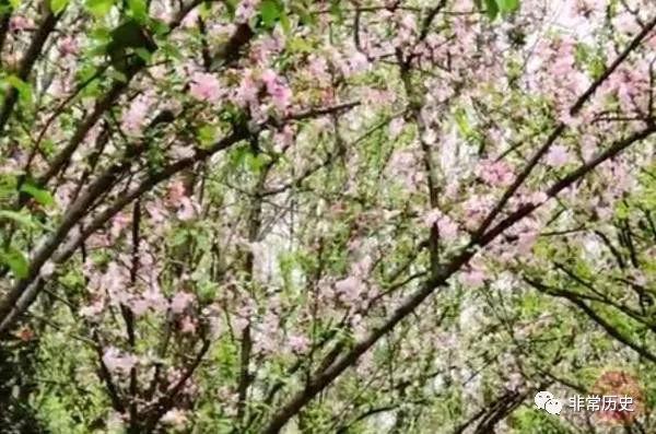 qq西游鹰在哪里_凤凰石蒜花_花凤凰粉凤凰_石蒜花_凤凰花的花瓣