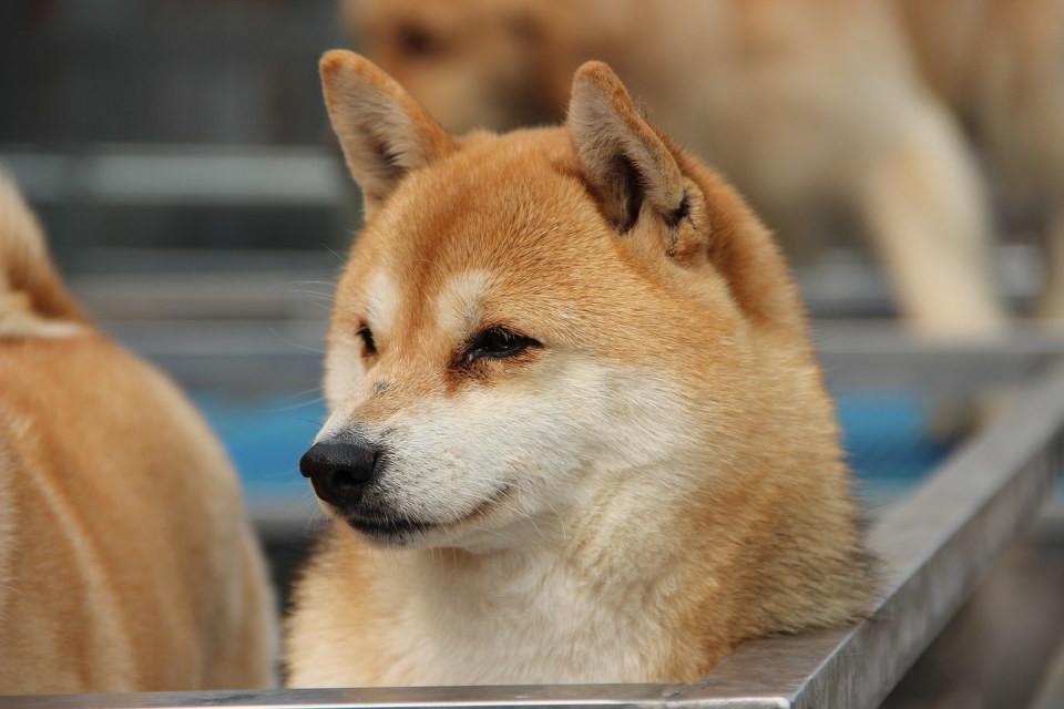 狗价格排名_世界十五种最忠诚的狗综合指数排名_威纳