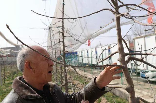 简单易懂 春季苹果树刻芽小知识