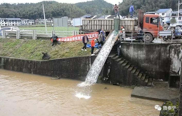 在泰宁这两个镇,近20万尾鱼苗跃入河道 干好第一天