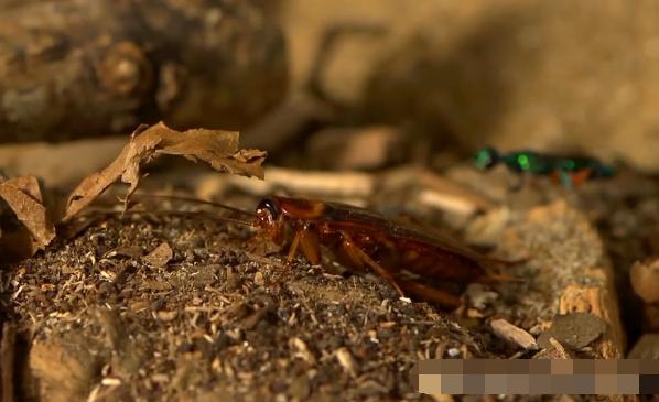 世界最大蟑螂厂,养10亿只蟑螂,每天消灭50吨垃圾,就在中国