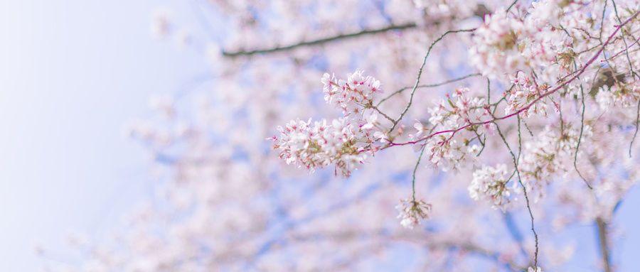 梅花 樱花 杜鹃花 都有都有,周末就走起吧