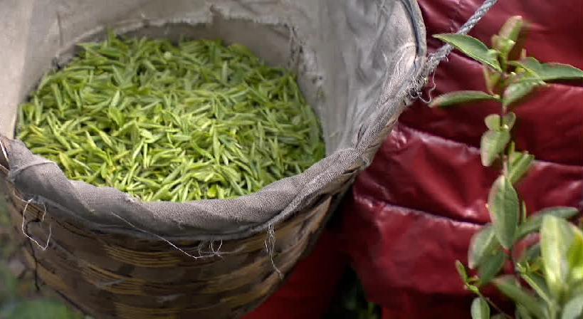 苏州太湖东西山探访外地采茶工:半个月能挣近万元