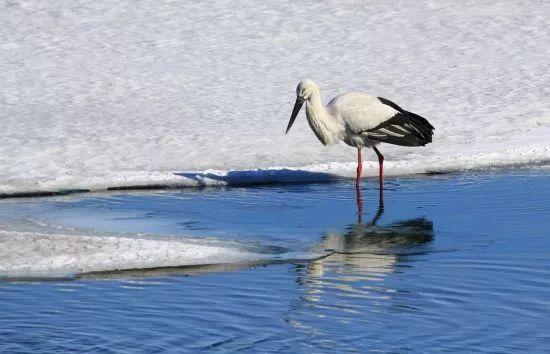 东方白鹳鸟群北迁中国边城黑河