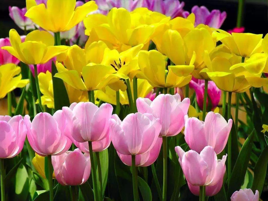 黄色郁金香高清壁纸