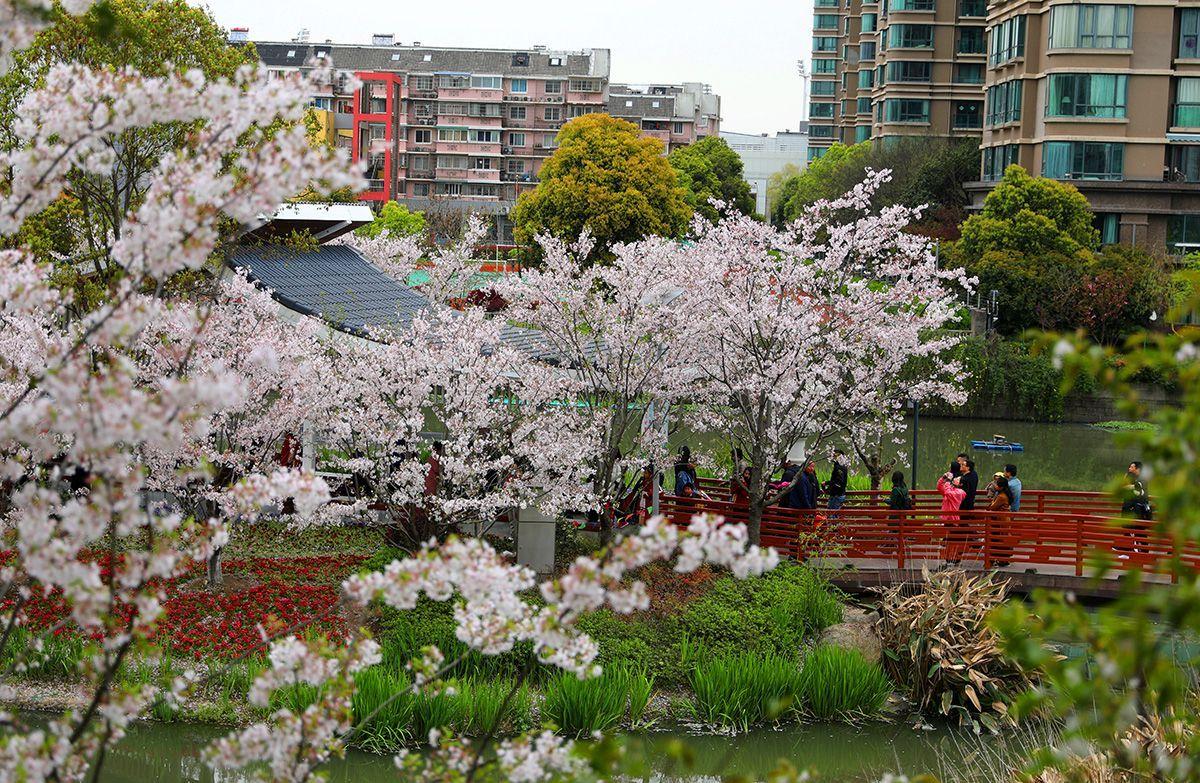 宁波与日本的樱花之缘,赏樱打卡地,花期短,错过再等一年