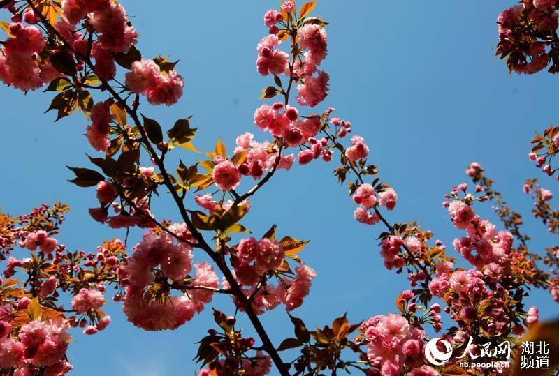 湖北保康:樱花盛开游人来