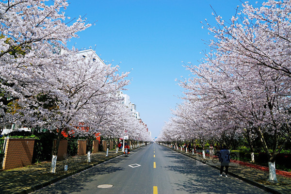 昨天中午的上海高东樱花大道,你看人多不多?
