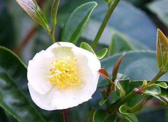 朴素典雅,可以喝的茶树花