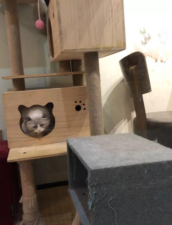 """猫""""香""""不怕巷子深:""""猫咖""""火爆只因能治愈社交孤独症?"""