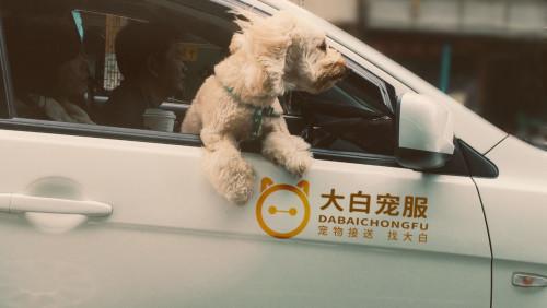长沙宠物服务行业进一步细分,大白宠服专注宠物接送