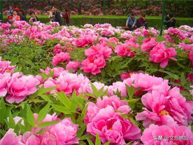 清明小长假期间,洛阳牡丹最新的花情预报