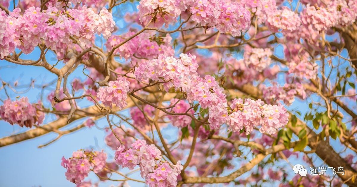泰国曼谷市政府_红风铃如约盛开粉了曼谷 浪漫娇媚不输樱花_公园