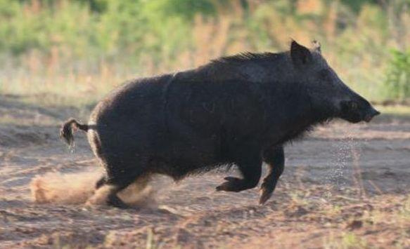 靠近山区的农村常有野猪来糟蹋庄稼,为保护庄稼,农民能捕杀吗