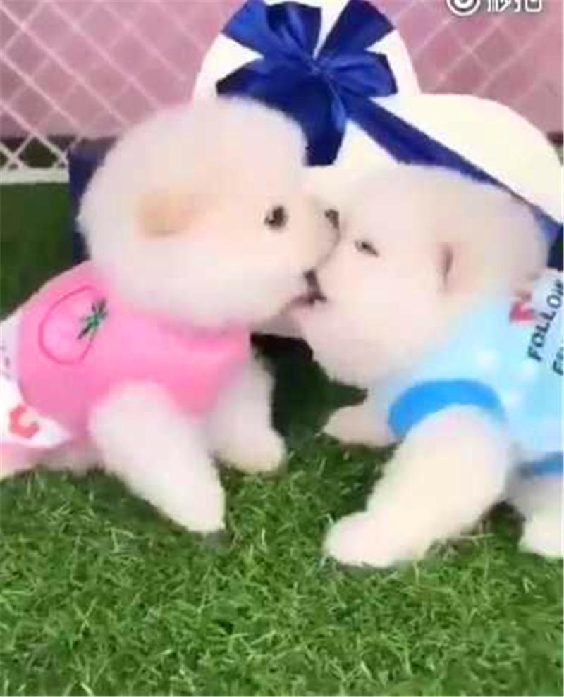 主人初吻还在,却被自己家两只小狗喂狗粮,网友:是时候去插足!