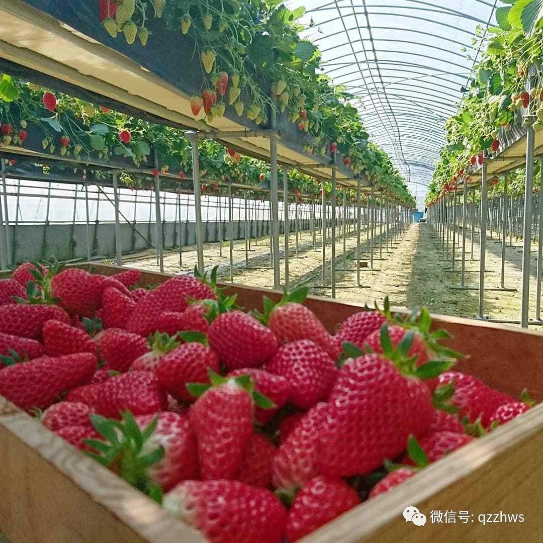 温室草莓立体种植新花样,有逼格还实用,产量是普通种植3到5倍