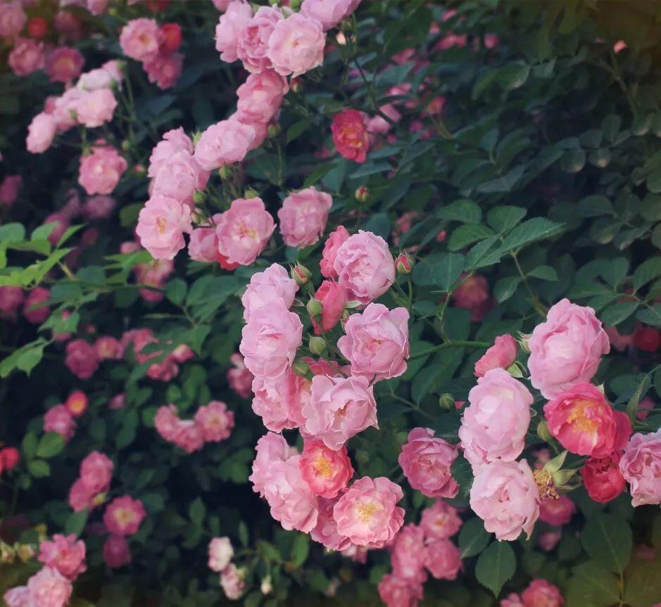 美到你肝颤的爬藤蔷薇,让你欲罢不能 - 夏生荒野 - 简书