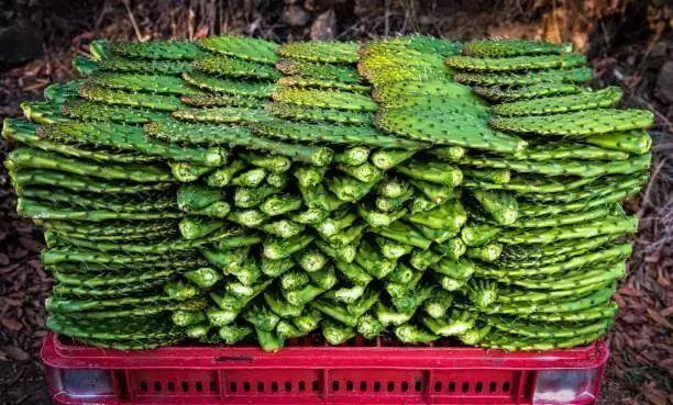 墨西哥仙人掌好吃吗图片