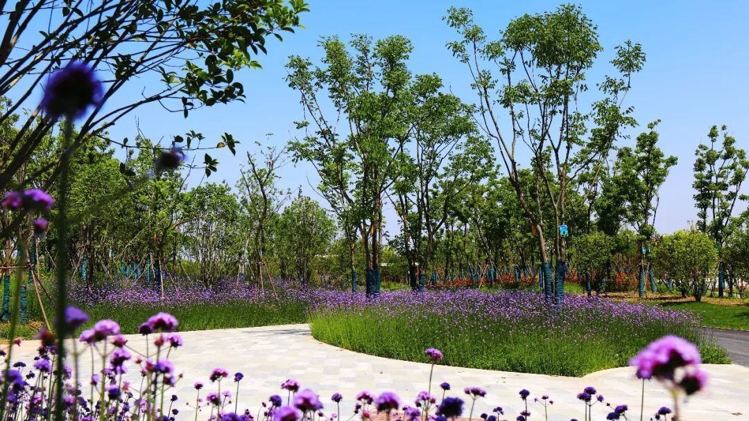 两边的花境自然活泼,艳丽可爱.人们随意地沉浸在紫色的海洋里.图片